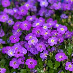 'Madly Blue Violet' Rock Cress              A stunner for rock gardens and other sunny spots, this creeping plant becomes a carpet of color for several weeks in spring when it's covered in violet-blue flowers. It often reblooms in fall, giving you more interest in the garden.   A carpet of purple...beautiful!