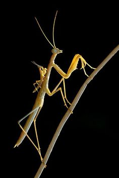 Mantis with baby mantis? Or mating?