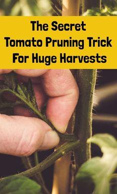The Secret Tomato Pruning Trick For Huge Harvests Regrow Vegetables, Home Grown Vegetables, Growing Veggies, Growing Tomatoes, Bucket Gardening, Gardening Tips, Container Gardening, Organic Gardening, Garden Plants Vegetable