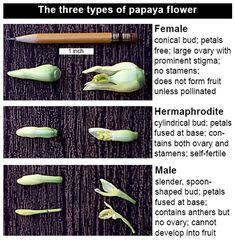 The Citrus Guy: Potted Papaya