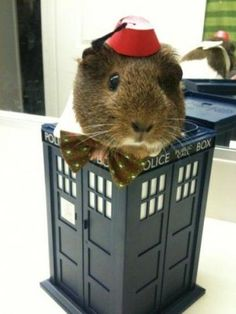 PetsLady's Pick: Cute Doctor Who Guinea Pig Of The Day...see more at PetsLady.com -The FUN site for Animal Lovers