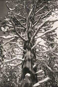 Cedar Tree, Winter, Yosemite Valley