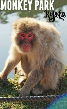 If you are traveling to Kyoto, Japan, do not miss out on seeing the beautiful red-faced Japanese macaque monkeys at Kyoto's Monkey Park in the Arashiyama district!