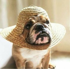 Straw Hat Bulldog ... a cross between a Vets Cone & shade from the sun. Unique! www.bullymake.com
