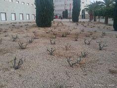 Rosales listos para la #Primavera en el #Campus de #Espinardo en @umnoticias.  #Murcia #landscape #Spain