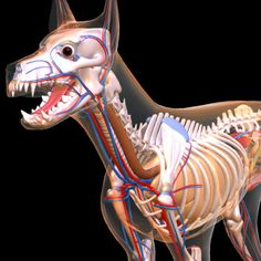 Dog Anatomy: A Coloring Atlas | Dog anatomy and Products