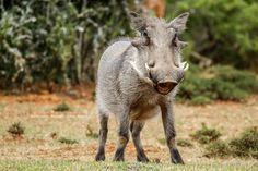 A Warthog seen on Game Drive at Bucklands. Private Games, Game Reserve, South Africa, Wildlife, Pictures, Photography, Photos, Photograph, Fotografie