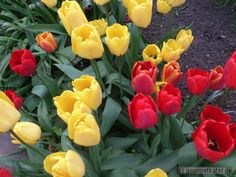 Tulpen #flowers #spring #garten #gardening