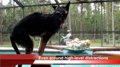 Klarity the German Shepherd Dog and impulse control around distractions. This video is about Klarity the German Shepherd Dog and impulse con...
