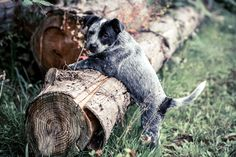 wallpaper images australian cattle dog