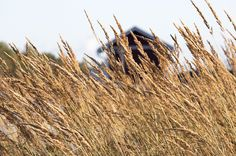 Waving In The Wind #visitsouthcoastfinland #hanko #Finland #nature #grain #crop #field #landscape