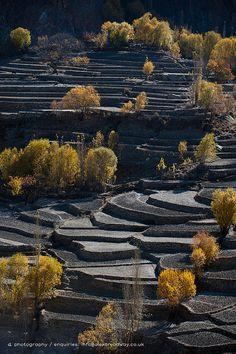 Rice terraces in winter . Kashmir