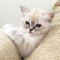 Nighty sweet Marsipan! #minimazariner #marsipan #birma #birman #breeder #catsofinstagram #chokladochvanilj #kitten #pinkalicious #welovecats #we_love_cats #excellent_kittens #bestcats_oftheworld