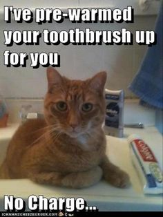 I've pre-warmed your toothbrush up for you - LOLcats is the best place to find and submit funny cat memes and other silly cat materials to share with the world. We find the funny cats that make you LOL so that you don't have to. I Love Cats, Crazy Cats, Cute Cats, Cat Fun, Funny Animal Pictures, Funny Animals, Cute Animals, Funniest Animals, Kids Animals
