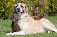 REASON BIG DOGS ARE THE BEST DOGS  8. Big dog means big heart. Their hearts are literally larger than those of small dogs. © Lenka Dankova/Getty Images