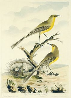 Thomas Lord - The Yellow Wag-Tail