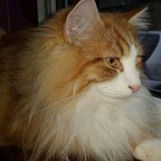 norwegian forest cats - Community - Google+