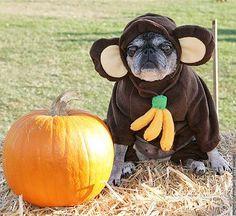 pug dog costume images | Pug_Monkey_Dog_Halloween_Costume : Stuff I Stole From The Internet