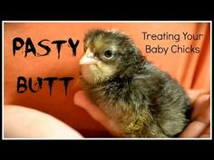 Pasty Butt & Baby Chicks~ - YouTube