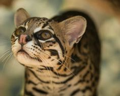There are only 50 ocelots left in the entire U.S. The government needs to take action to save them! (64639 signatures on petition)