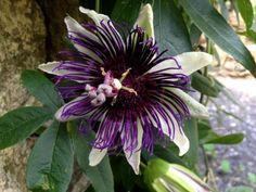 Passiflora-Tropical-vine-Passion-Flower Indigo-Dreams