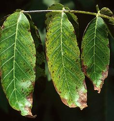 Photo: Browning of margins and interveinal tissues on leaves of walnut tree