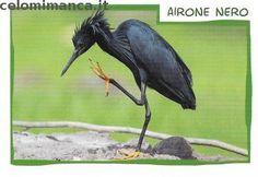 Amici Cucciolotti 2017: Fronte Figurina n. 155 Airone nero