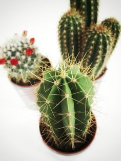 Cactusjes