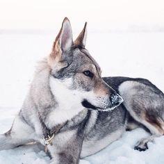 ❄#sitkathewolf