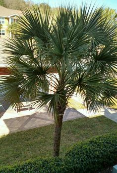 Palm Tree Flowers, Palm Trees, Plant Leaves, Sidewalk, Palmas, Palm Plants, Side Walkway, Walkway, Walkways