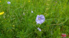 Linum ussitatisimum, fam Linaceae, denumire populară: in Dandelion, Dandelions, Taraxacum Officinale
