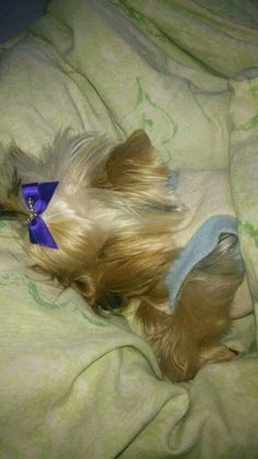 So cute...Yorkie napping