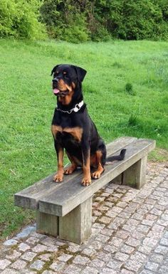 Rottweiler   jpg (441×720 #rottweiler   jpg (441×720)