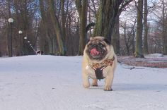The Pug Valli in the Kadriorg Park - http://europug.eu/the-pug-valli-in-the-kadriorg-park/