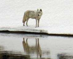 Yellowstone National Park Animals | ... wolf prowls the Yellowstone River in Hayden Valley | Yellowstone Gate