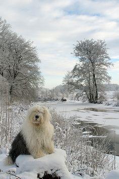 Stunning old English sheep dog + scenery