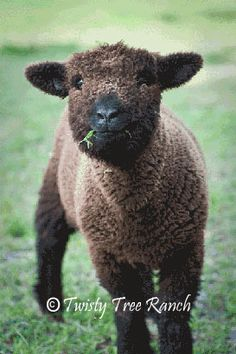Babydoll Southdown Black Ewe Lamb      Twisty tree Ranch