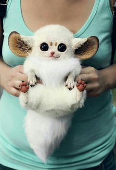 Inari fox. I can't stand so much cuteness!!! It's like a real life furby ♥♥♥