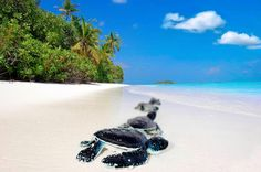 visit somewhere tropical and watch baby Turtles Hatch and make a run for the sea. Turtle Hatching, Cute Tortoise, Baby Sea Turtles, Turtle Love, Turtle Bay, Cute Baby Animals, Under The Sea, Cute Babies, Places To Go