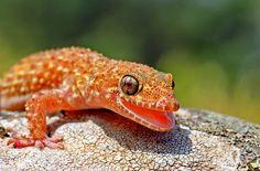 Геккон (фото): ящерица с фантастическими способностями Смотри больше http://kot-pes.com/gekkon-foto/