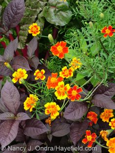 Tagetes patula 'Hayefield Strain' and Alternanthera dentata 'Purple Knight'