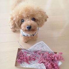 おはようございます♪̊̈♪̆̈. これでまた何か作るんだって. ピンクペッパーベリー. 結局、ネットで購入〜♡*°. 色も良かったなぁ〜(´ ˘ `∗). 今週もよろしくね♪̊̈♪̆̈. #dog#dogstagram #toypoodle #ig_dogphoto #all_dog_japan#east_dog_japan#_international_animals_#total_dogs#goodmorning #ADELE #犬#愛犬#ティーカッププードル #トイプードル #ティーカップサイズ #犬との暮らし #ふわもこ部ワンコ #トイプードルアプリコット#犬バカ部 #わんこなしでは生きていけません会 #ペッパーベリー#楽天#おはよう#アデル
