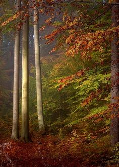 """Kottenforst in autumn, near Bonn, Nordrhein-Westfalen, Germany. Beethoven's connection with nature started in these woods at a young age. When he was free of his strict musical instruction & chaotic home life he would escape to the tranquillity of these woods. A note he later wrote in a sketchbook reads """"I am blissfully happy in the woods. Every tree speaks through you O God. What splendour and peace."""" One of his favourite dishes was Krammetsvogel (fieldfare) hunted from the woods near Bonn…"""