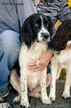 An English Springer Spaniel. Please visit http://www.springerrescue.org/ and adopt a Springer Rescue.