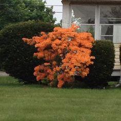 Beautiful Orange Flower Bush Love This But Have No Clue What It S Called Lol Flowering Shrubsorange Flowershorticulturecreative