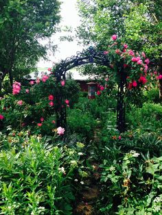 Rose arbor with John Cabot rose.