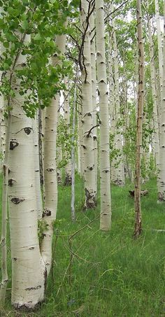 Hikes with Josh through the aspen trees. We have a tree somewhere out there with our initials on it. <3