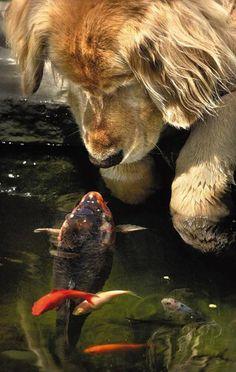 Retriever and coy fish