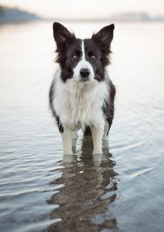 I never tire of seeing one more border collie.