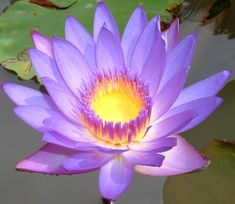 Blue Lotus (Nelumbo nucifera)